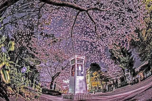 桜と自動電話-1